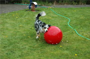"Hundesport im Garten: ""Treibball"""